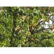 Mirabellier,  Prunus domestica subsp. syriaca