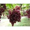 Vigne ' Lospeux ' Vitis vignifera Raisin rouge