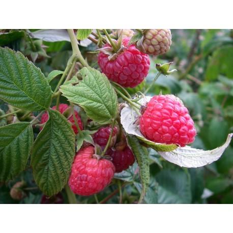 Framboisier remontant  'Purple' Rubus idaeus