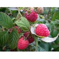 Framboisier non remontant  'geant' Rubus idaeus
