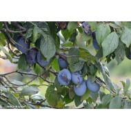 Prunier de Damas, Quetsche, Prunus domestica