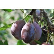Prunier d'Agen Prunus domestica 'Agen' Prunier d'Ente
