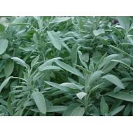 Sauge officinale Salvia officinalis