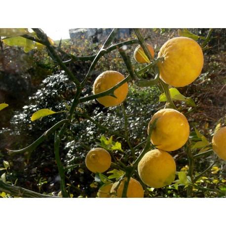 Citronier épineux, Oranger trifolier Poncirus trifoliata