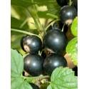 Cassissier (Cassis) ' Black pearl ' Ribes nigrum Groseillier noir