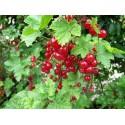 Groseillier à grappe Rouge ' Flamboyant ' Ribes Rubrum