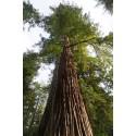 Sequoia giganteum, Sequoia géant arbre d'ornement