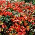 Vigne vierge de Virginie, Parthenocissus quinquefolia, Vigne vierge vraie