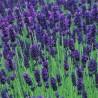 Lavande officinale, Lavandula angustifolia, Lavande à feuille étroite