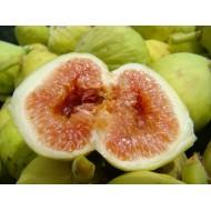 Figuier 'Précoce de Dalmatie'  Ficus carica