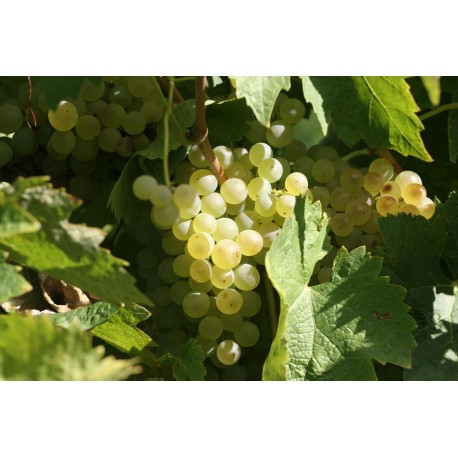 Vigne 'Lebon' vignifera Raisin blanc