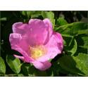 Rosier du Japon, Rosier rugueux, Rosa rugosa