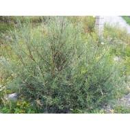 Saule osier, Saule des vanniers, Saule vert Salix viminalis